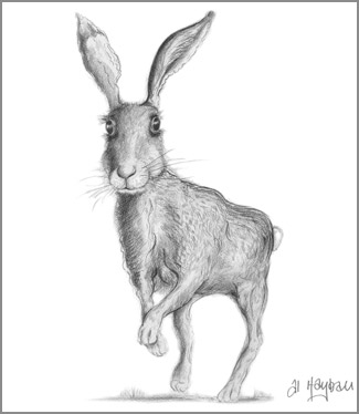 hopping hare by al hayball, pencil study,