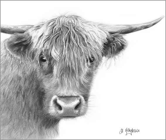 west highland cattle,